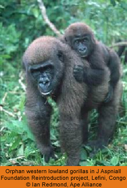 population issues report western lowland gorilla But new study also finds bad news for western lowland gorillas  trending news must reads most popular us  reports the guardian earlier estimates placed the gorilla population at 150,000 .
